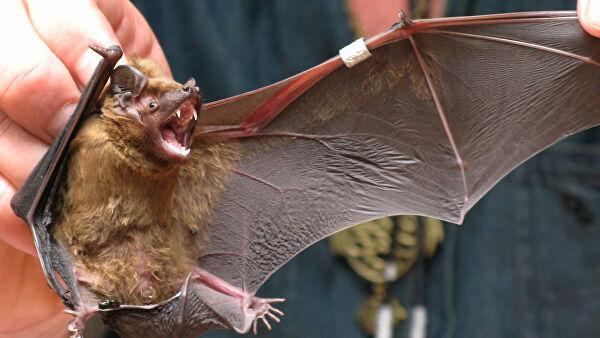 Ученые Уханя рассказали чем опасны укусы летучих мышей