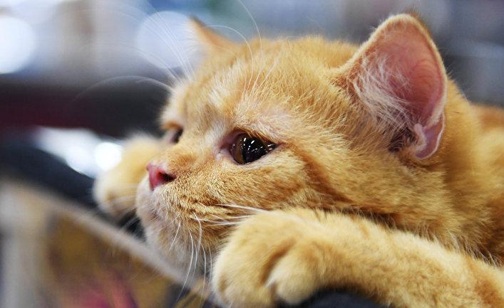 Психологи рассказали о влиянии кошек на работу людей на удаленке