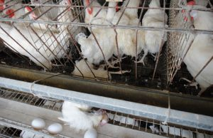 Производители яиц и мяса птицы пообещали сдерживать цены