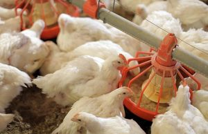 Стоимость на мясо птицы может упасть уже в апреле