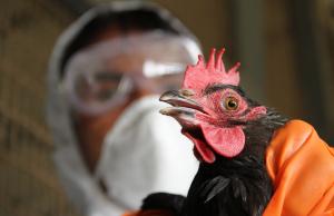 Ученые Китая опасаются пандемии птичьего гриппа