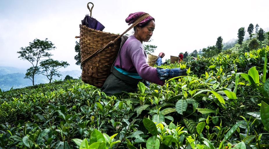 Поставщики сообщают, что цены на индийский чай могут значительно вырасти из-за засухи и пандемии коронавируса