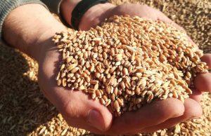 Россия стала крупнейшим экспортером зерна